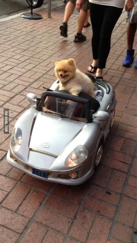 תמונה כלבה נוהגת