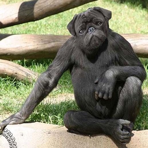 תמונה קוף או כלב