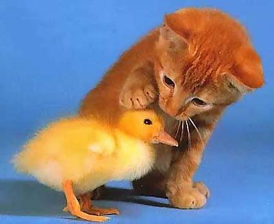 החתול והברווז